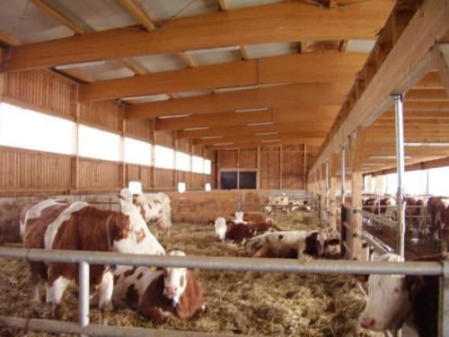 Slika 8. - Štala i krave obitelji Winkelhof